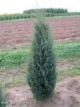 Juniperus communis - Boróka