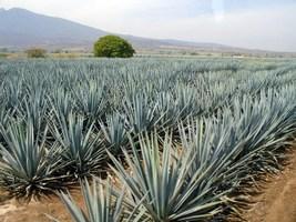 tequila agavé