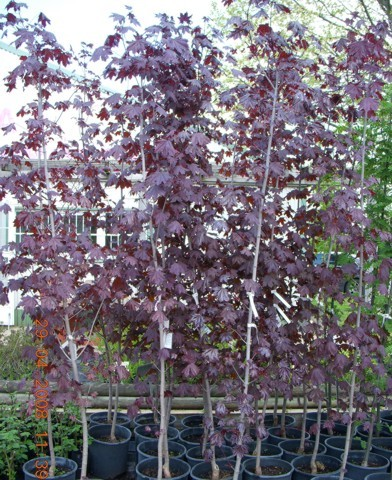 Acer platanoides 'Crimson King' - Vörös levelű juhar