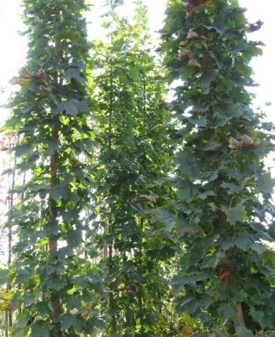 Acer platanoides 'Olmstedt' - Oszlopos juhar