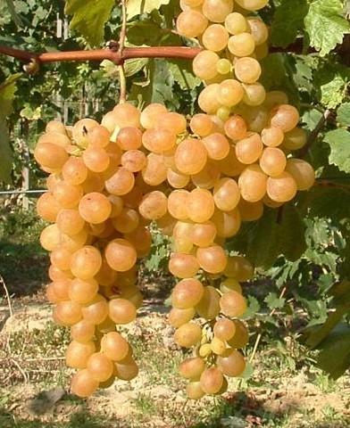 Afuz Ali csemegeszőlő oltvány