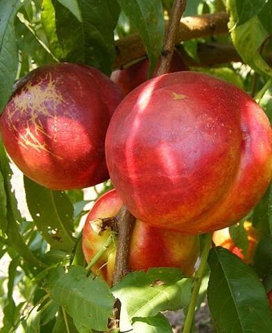 Andosa nektarin fa - kopasz barack gyümölcsfa