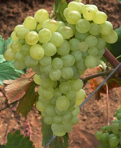 Angéla rezisztens szőlő oltvány