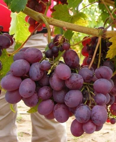 Anita csemegeszőlő oltvány