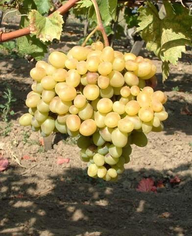 Árkádia csemegeszőlő oltvány