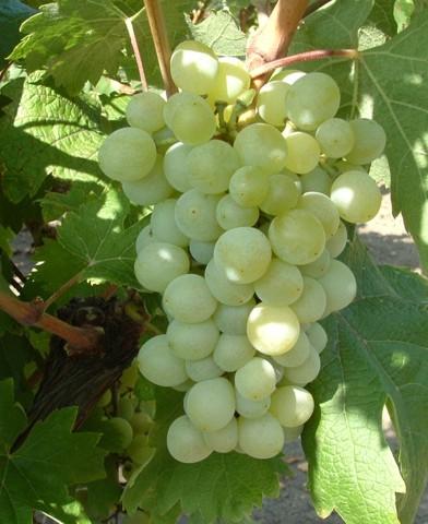 Attila csemegeszőlő oltvány
