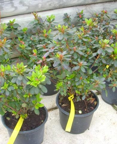 Azalea japonica - Azálea