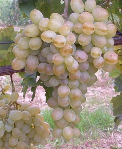 Belgrádi magvatlan - magnélküli szőlő oltvány