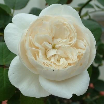 Bianca magastörzsű rózsa