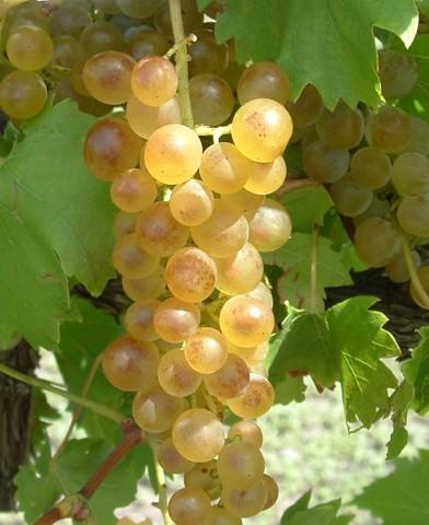 Bianca rezisztens szőlő oltvány