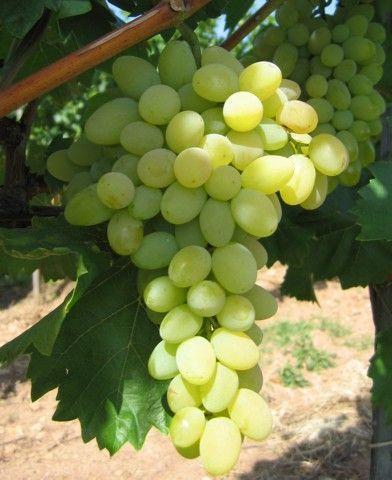 Bolgár Rezi csemegeszőlő oltvány