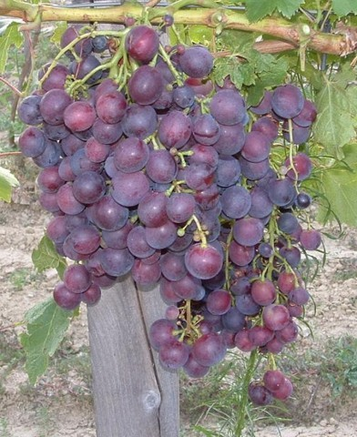 Cardinal csemegeszőlő oltvány