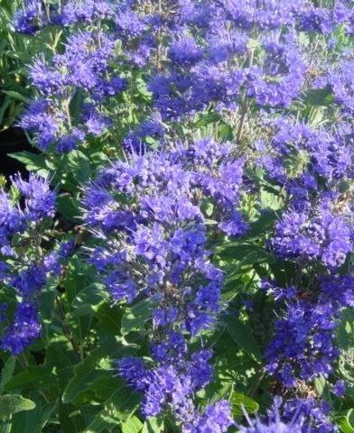 """Caryopteris 'Heavenly Blue"""" - Kékszakáll"""