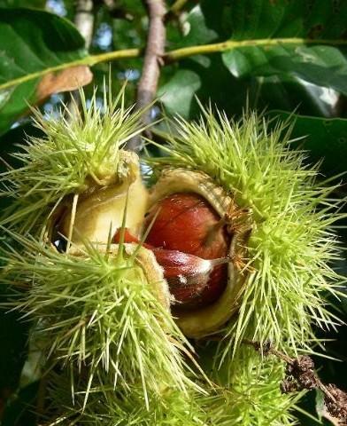 Castanea sativa szelídgesztenyefa