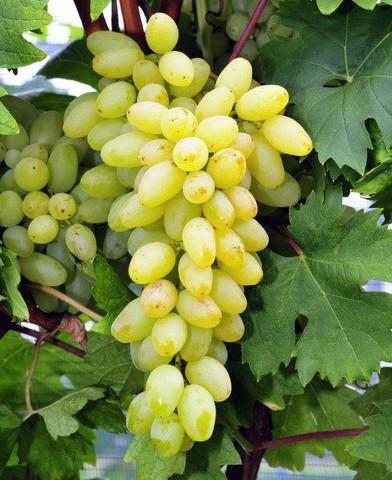 Centennial Seedless magnélküli szőlő oltvány