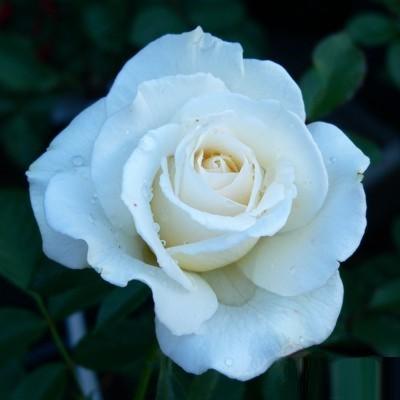 Christal magastörzsű rózsa