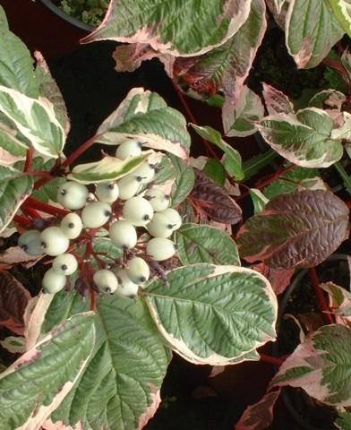 Cornus alba sibirica 'Variegata' - Fehér-tarka díszsom