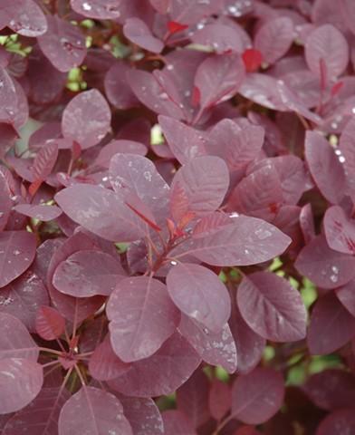 Cotinus coggygria 'Royal Purple' - Vöröslevelű cserszömörce
