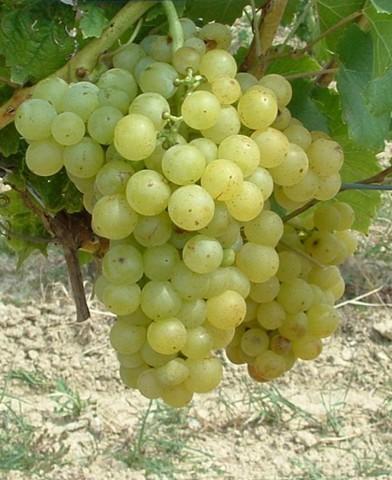 Csabagyöngye csemegeszőlő oltvány