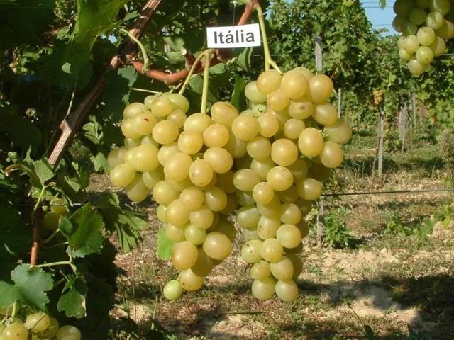 Csemegeszőlő oltvány