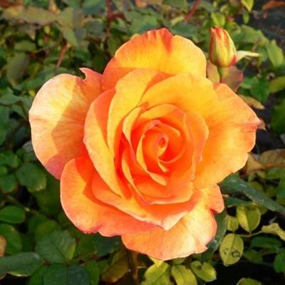 Doris Tysterman magastörzsű rózsa