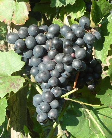 Esther rezisztens szőlő oltvány