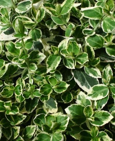 Euonymus fortunei 'Emerald Gaiety' - Kúszó kecskerágó