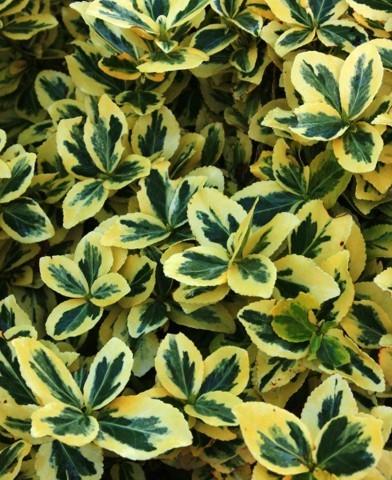 Euonymus fortunei 'Emerald'n Gold' - Kúszó kecskerágó