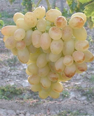 Éva csemegeszőlő oltvány