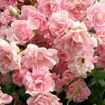 Fairy talajtakaró rózsa