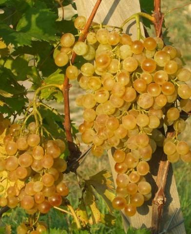 Fanny rezisztens szőlő oltvány