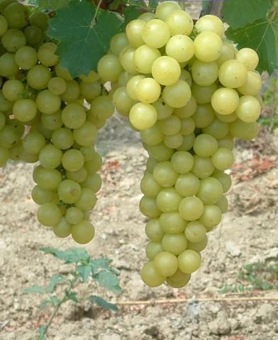 Favorit csemegeszőlő oltvány