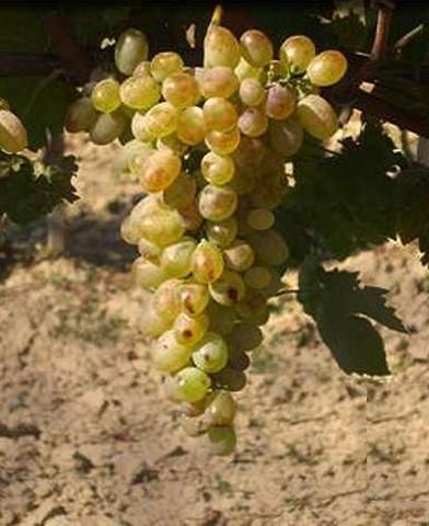 Fehér kecskecsöcsű csemegeszőlő oltvány