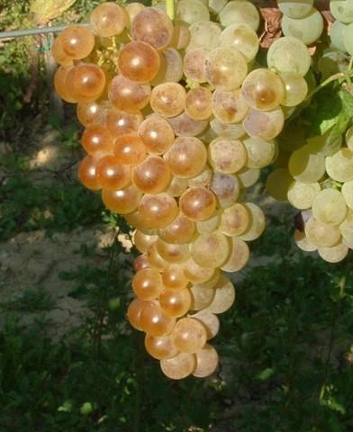 Fehér saszla (Chasselas blanc) csemegeszőlő oltvány