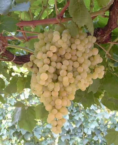 Fehér szultán magnélküli szőlő oltvány