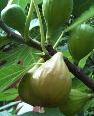 Ficus carica 'Desert King'- Sárga termésű fügefa