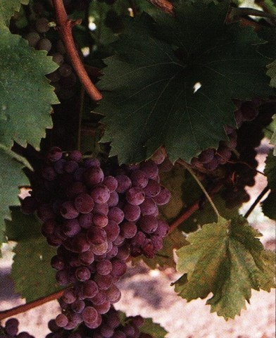 Flóra rezisztens szőlő oltvány