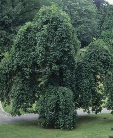 Fraxinus excelsior 'Pendula' - Szomorú kőris