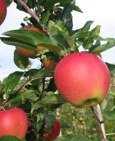 Gála almafa