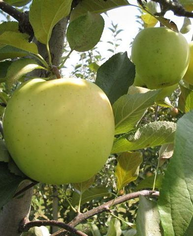 Golden Delicious almafa