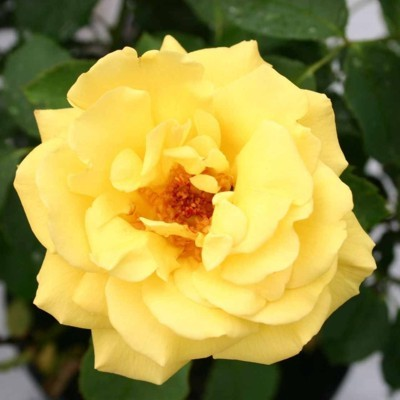 Goldstern magastörzsű rózsa
