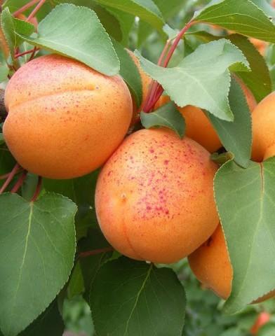 Gönci magyar kajszi - sárgabarackfa