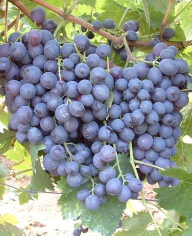 Hamburgi muskotály csemegeszőlő oltvány