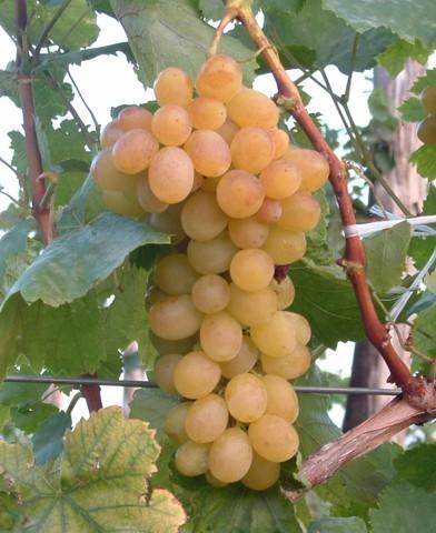 Helikon szépe magnélküli szőlő oltvány