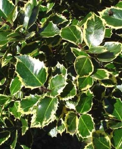 Ilex aquifolium 'Rubricaulis Aurea' - Sárga-tarka levelű magyal