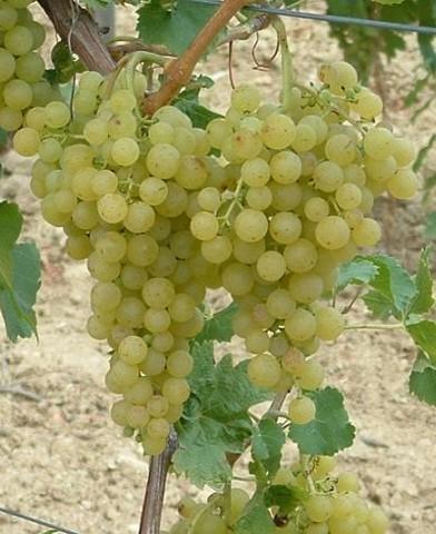Irsai Olivér borszőlő oltvány