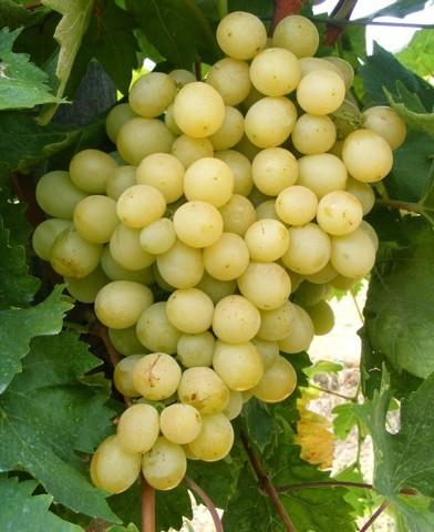 Itália csemegeszőlő oltvány
