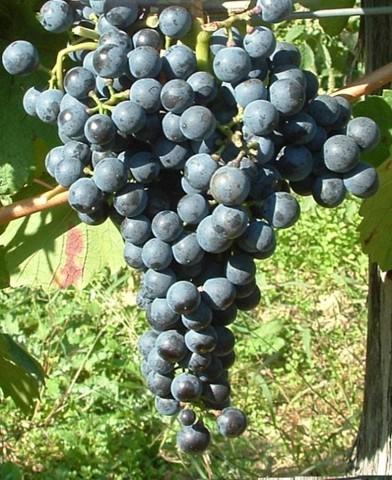 Kékfrankos borszőlő oltvány