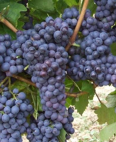 Kékoportó borszőlő oltvány