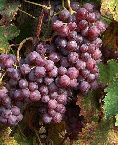 Kinga rezisztens szőlő oltvány